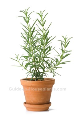 fragrant house plants, rosemary plant