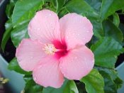 hibiscus flower, caring for hibiscus plants