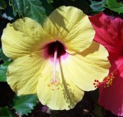 yellow hibiscus flower, state flower of hawaii