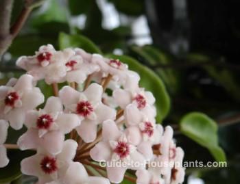 wax plant, hoya flower, hoya carnosa, hoya vine