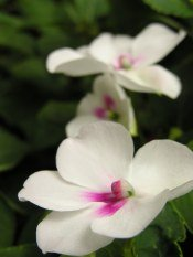 impatiens flowers, impatien flower, care for impatiens