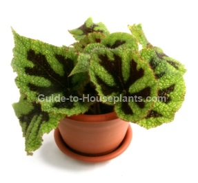 iron cross begonia, begonia house plants
