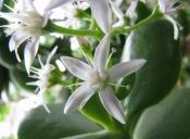 jade plant, jade plant care, succulent plants