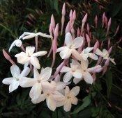 jasmine plant, chinese jasmine