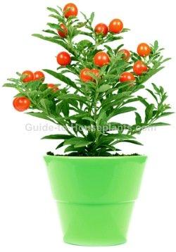 jerusalem cherry, solanum pseudocapsicum