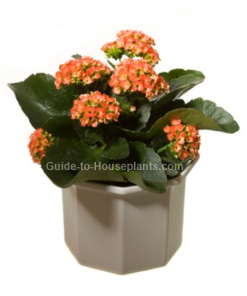 kalanchoe plant, flowering house plants, flaming katy, succulent house plants