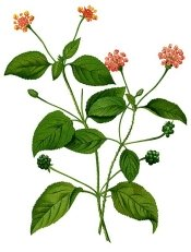 lantana plants, lantana flower, lantana plant, flowers lantana