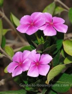 periwinkle flower, periwinkle plant, madagascar periwinkle, periwinkle flowers
