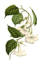 mandevilla plant, mandevilla vine, mandeville flowers