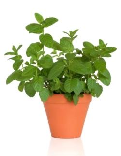 mint herb, mint plant