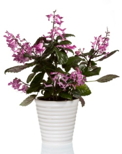 mona lavender, plectranthus mona lavender