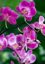 moth orchids, orchids