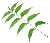 neem leaves, benefits of neem oil