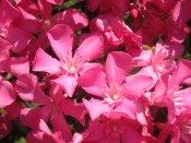oleander bush, oleander tree, oleander plants