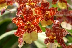 oncidium orchid, care of orchids