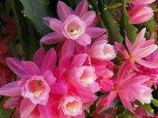 orchid cactus, epiphyllum orchid cactus