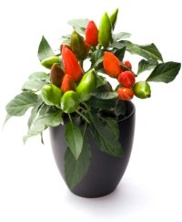 ornamental chili pepper, christmas pepper, capsicum annuum
