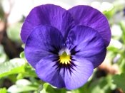 pansy plants, growing pansies, pansies care