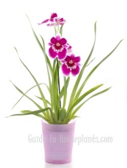 miltoniopsis orchids, pansy orchid