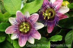 passion flower vine, passiflora