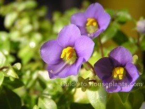 persian violet, exacum affine, persian violets