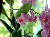 caring for orchids, how to care for orchids