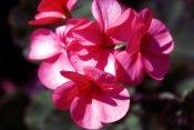 pink geraniums, geranium flowers, perennial geraniums