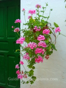 Ivy geranium trailing geranium hanging basket flowers - How to care for ivy geranium ...