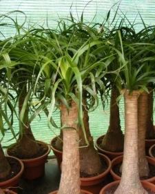 ponytail palm, ponytail palms