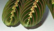 prayer plant, maranta leuconeura
