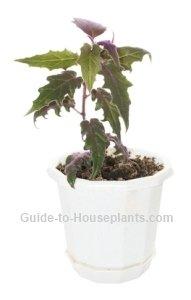 purple passion plant, purple passion vine, velvet plant, gynura aurantiaca