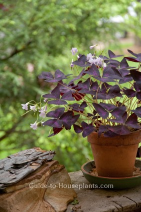 purple shamrock, oxalis regnellii