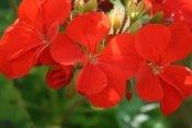 geranium care, geranium plants, geranium flowers, perennial geraniums
