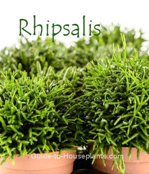 mistletoe cactus, rhipsalis