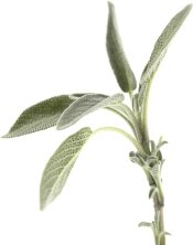 growing sage, sage herb