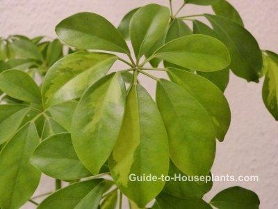 schefflera, schefflera houseplant, schefflera actinophylla
