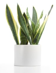 snake plant, mother-in-law's tongue, sansevieria, common house plants