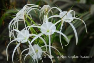 spider lily, white spider lily, spider lilies