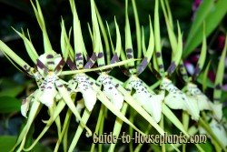 spider orchids, brassia orchid plant