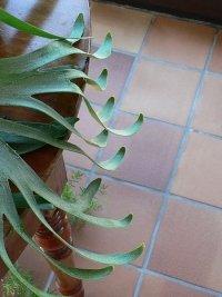 staghorn fern, staghorn ferns, platycerium bifurcatum
