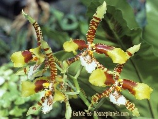 tiger orchids, exotic indoor plants