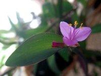 tradescantia pallida, purple heart plant