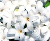 hyacinth flower, hyacinth care, hyacinth flowers, forcing hyacinth bulbs