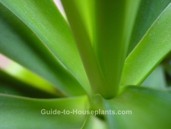 yucca plant, yucca houseplant, yucca leaves