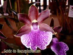 zygopetalum, zygopetalum orchid, fragrant orchid