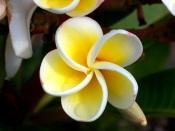 yellow frangipani, frangipani flowers