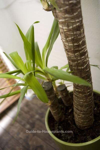 yucca plant, yucca houseplant, yucca leaves