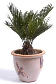 sago palm, cycas revoluta, sago palm tree