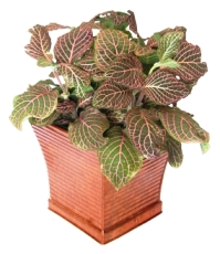 Nerve plant fittonia verschaffeltii picture care tips for How to take care of exotic angel plants