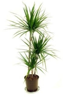 Madagascar dragon tree dracaena marginata picture Tall narrow indoor plants